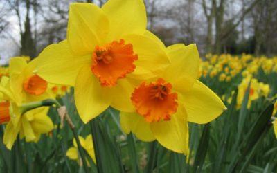 Spring Blooming Bulbs!