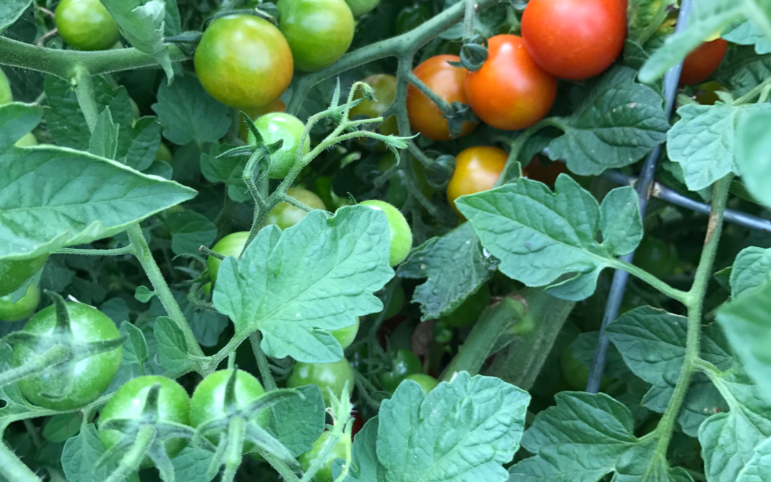 Growing Tomatoes in Kentucky